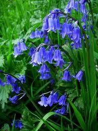 blue bells 92